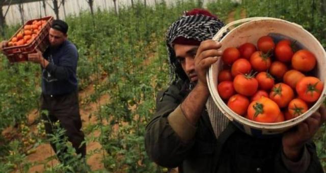 الزراعة بغزة: أسعار الطماطم بدأت بالانخفاض