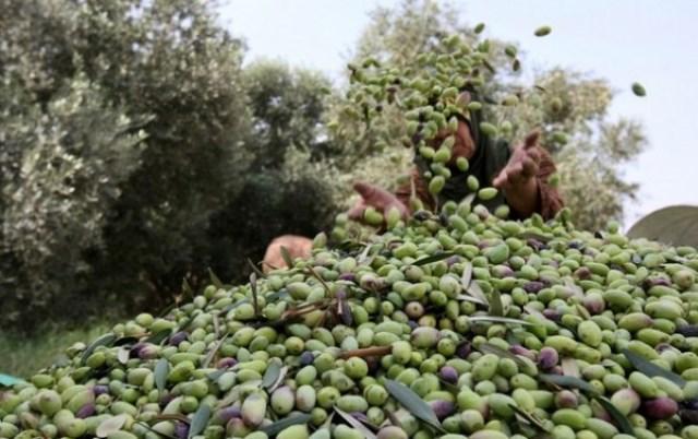 غزة :  الزراعة  تسمح باستيراد زيت الزيتون والبصل من مصر