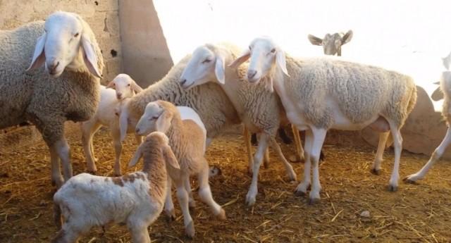 زراعة الاحتلال تحتجز ثلاثة آلاف رأس عجل في موانئها