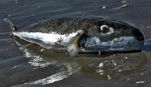 غزة : الصحة تحذر من تناول سمكة الأرنب السامة