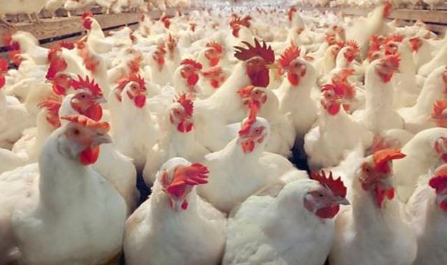 غزة : الزراعة توضح أسباب ارتفاع أسعار الدجاج وإدخال 100 طن صدر حبش مبرد لخفض السعر