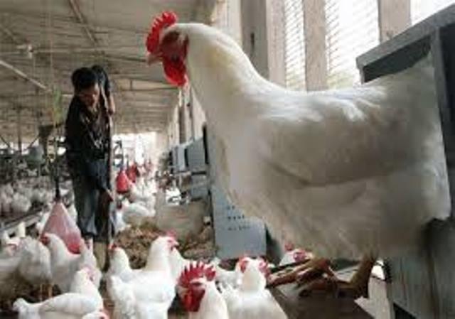 الزراعة بغزة : القطاع خالي تمامًا من مرض «أنفلونزا الطيور»