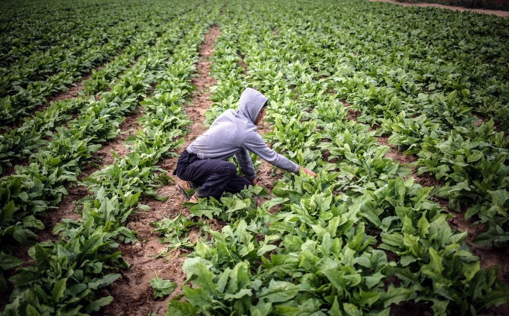 إجراءات احتياطية لمواجهة «أسراب الجراد» القادمة لغزة