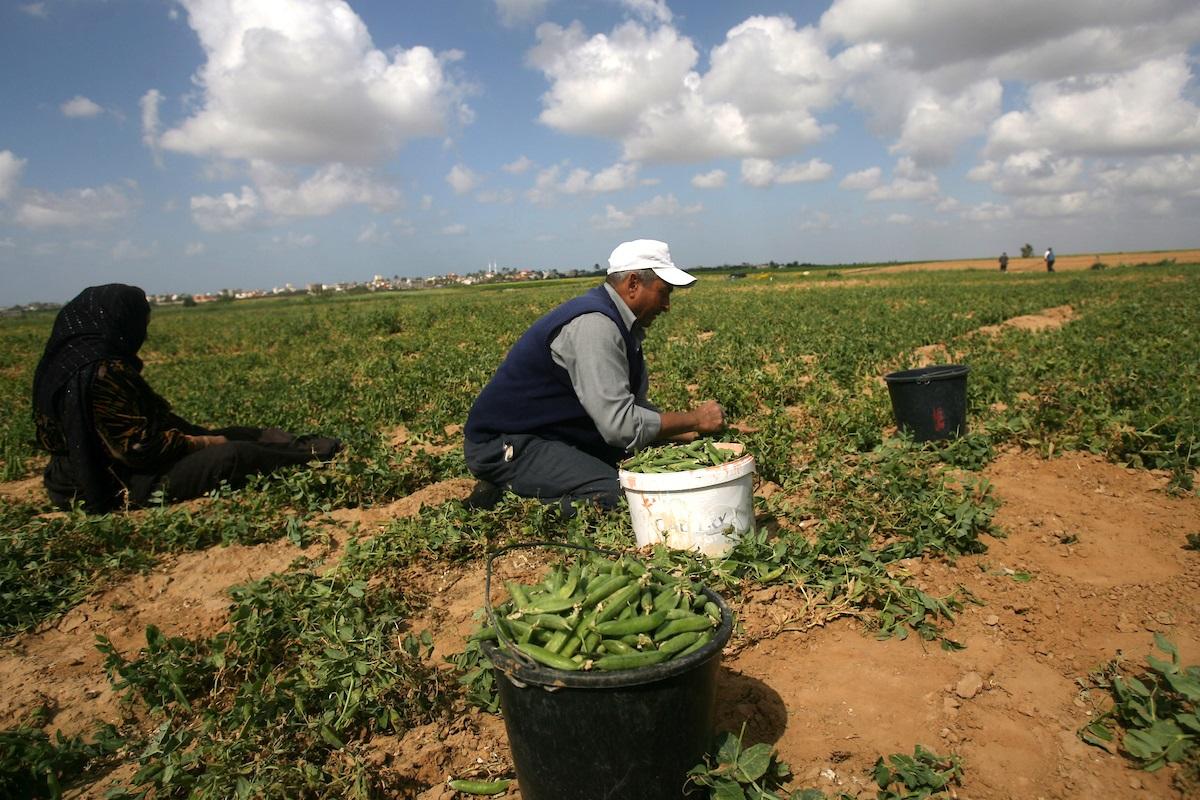 الحصار و«كورونا» يلاحقان مزارعي قطاع غزة